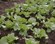 Grow yummy lettuce in the Carolinas.