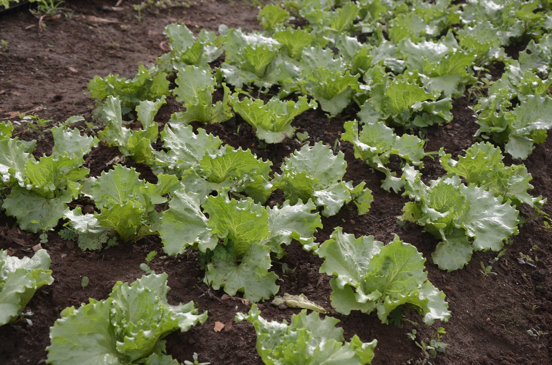 Grow yummy lettuce in the Carolinas.