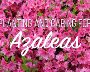 How to plant and care for azaleas
