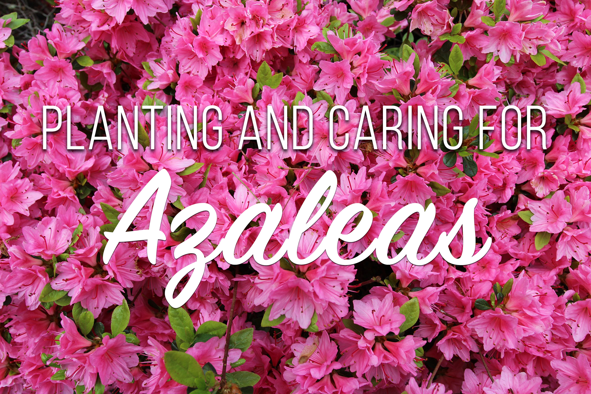 Masterpieces for your yard azaleas blackhawk hardware - Care azaleas keep years ...