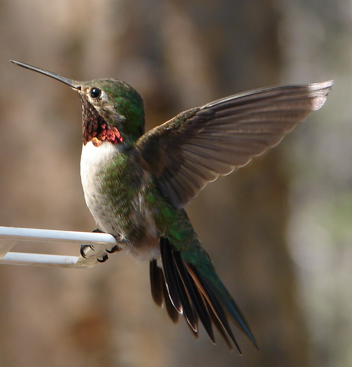 Attracting Hummingbirds To Your Southern Garden