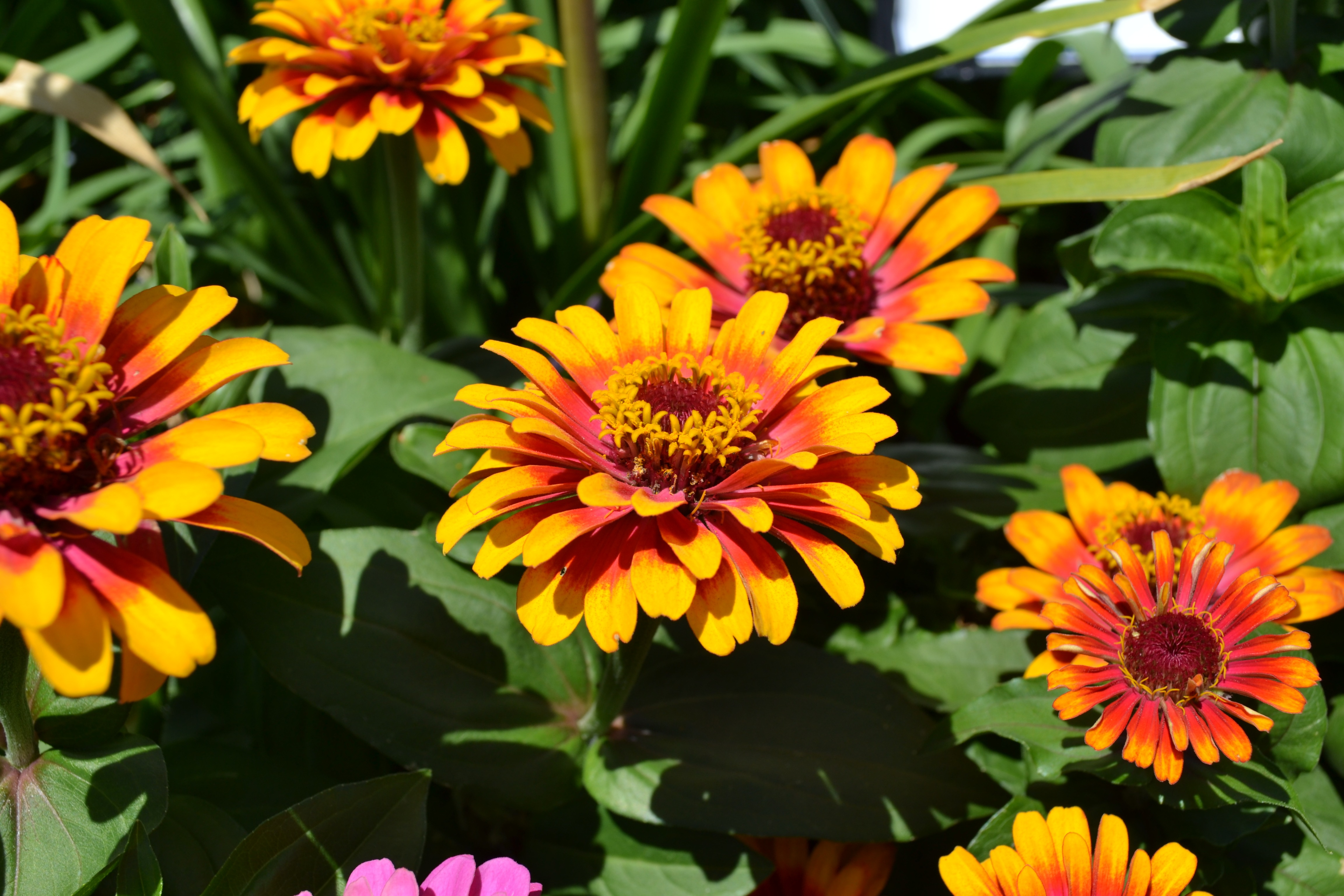Sow fast growing annuals like zinnias and marigolds now for a final show of color.
