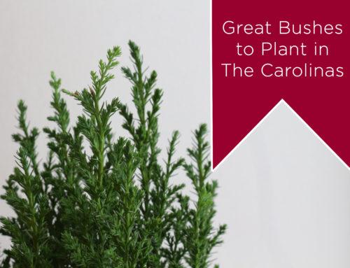 Intriguing Bushes to Consider for Your Carolina Garden