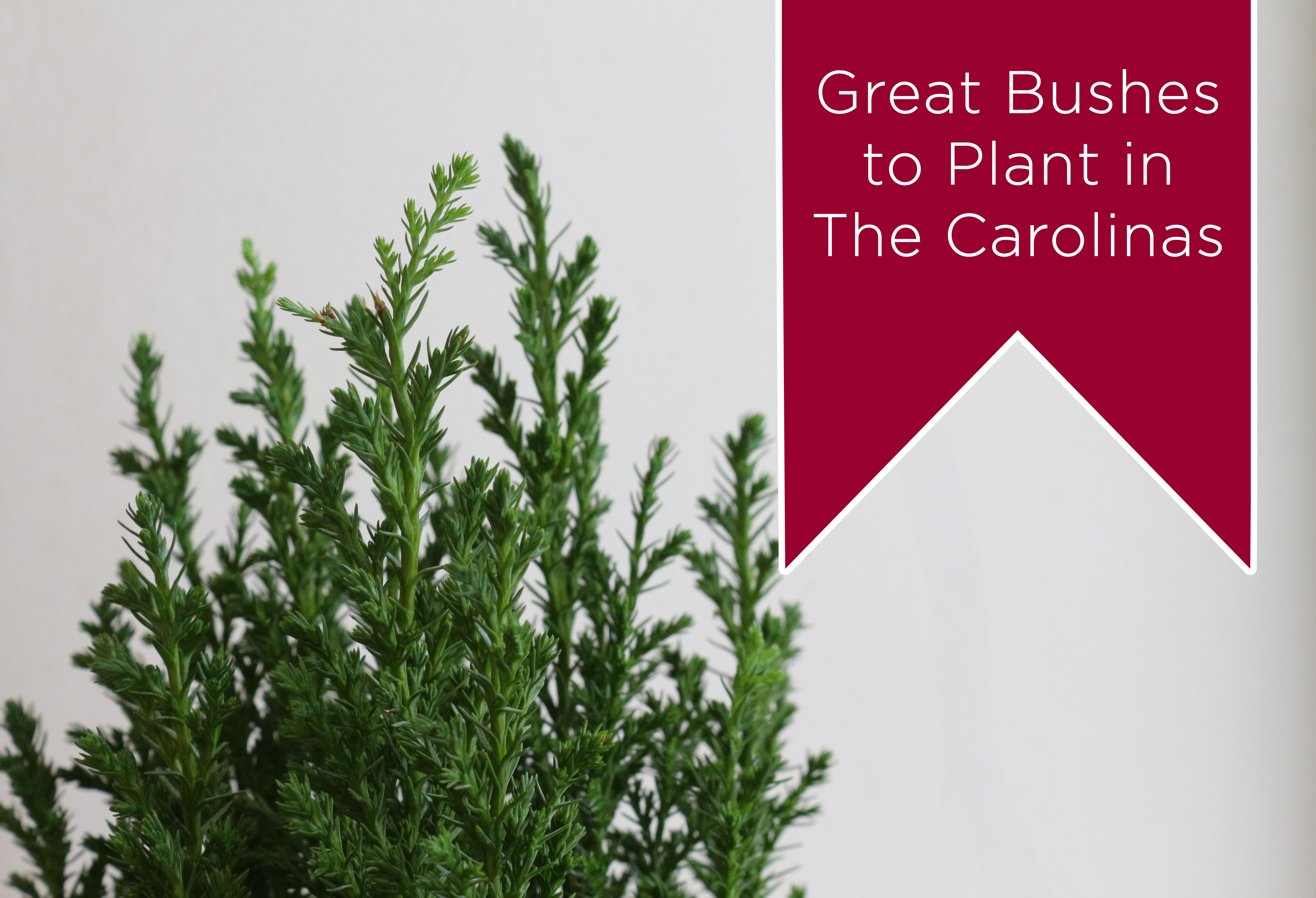Great bushes to plant in North and South Carolina