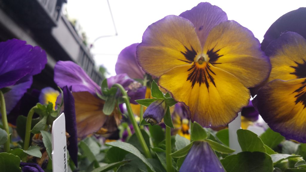 Two-toned pansies are such delights!