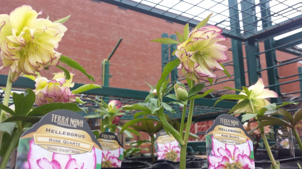 Lenten roses are stunning early bloomers