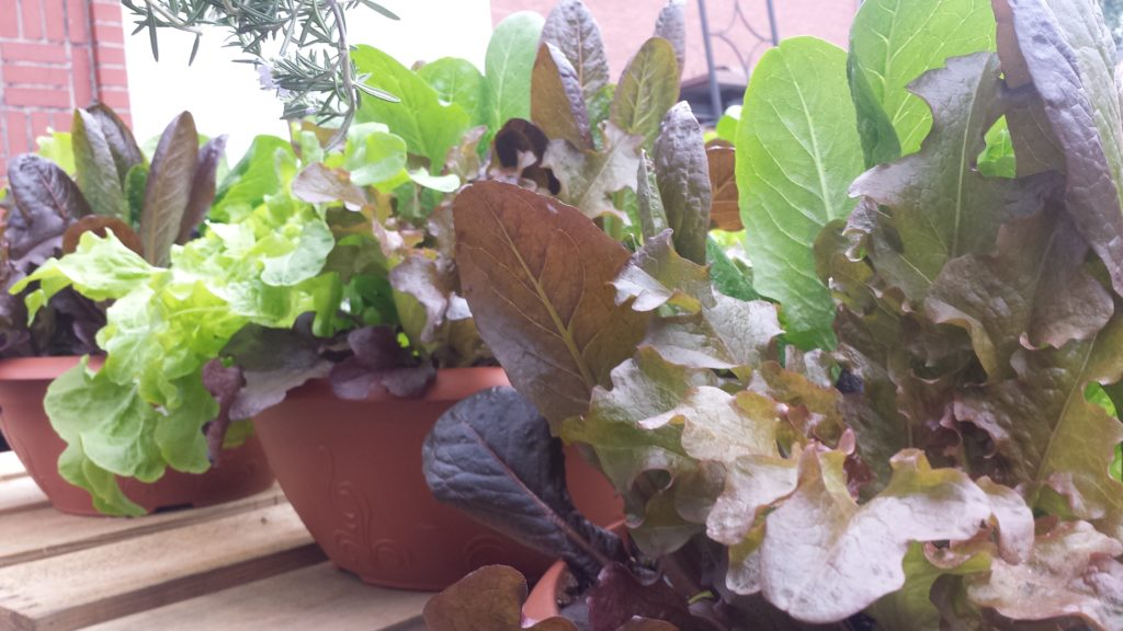 Growing lettuce in containers is easy and rewarding!