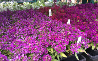 Fresh finds at Blackhawk Hardware's Garden Center inculde Sweet Alyssum