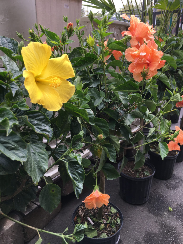 Add tropical plants to your Charlotte garden!