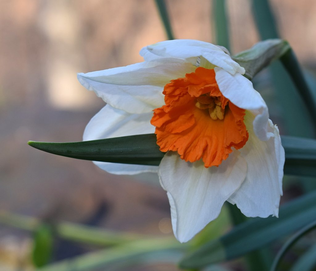 Don't cut off daffodil foliage after they've bloomed! Give them a few weeks to recharge their bulbs with energy for next year!