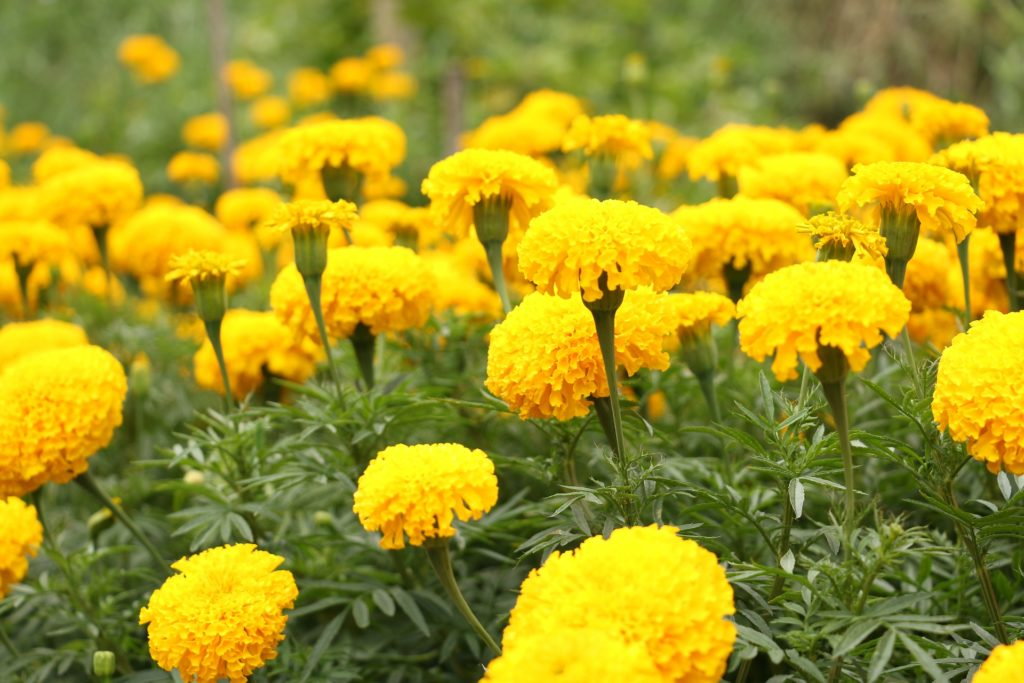 Marigold is a powrful companion plant.