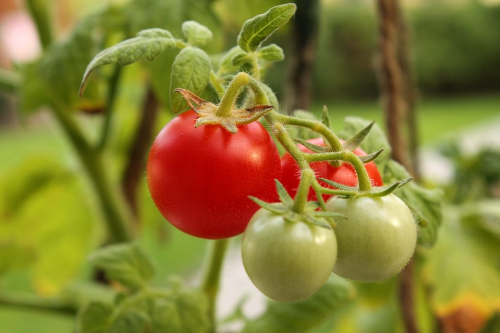 Growing tomatoes in Charlotte, NC is easy and rewarding.