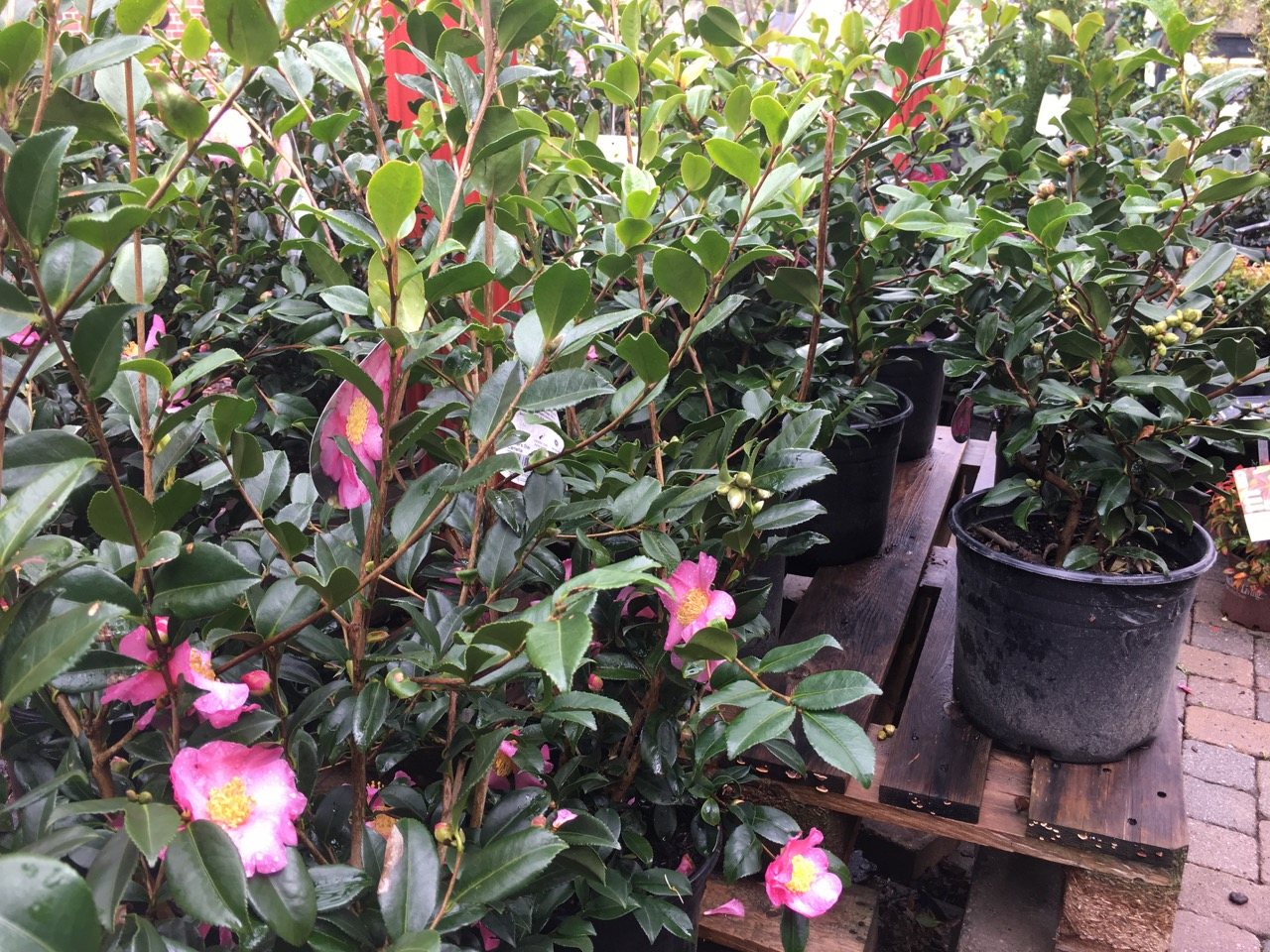 Beautiful camellias add color to your yard in the midst of winter.