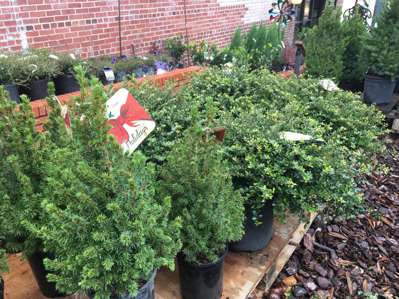 Dwarf Alberta Spruce from Blackhawk Hardware's Garden Center